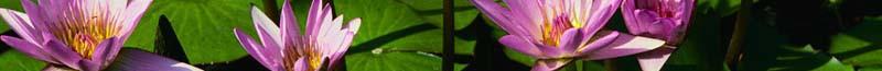 cropped-water-lilies2.jpg